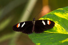 Passion tropical butterfly. Tropical butterflies scarce bamboo page on the leaf. Macro photography of wildlife Stock Images