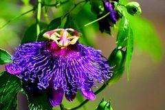 Passion vine called 'Inspiration', Florida Stock Photography