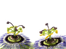 Passionate flowers. A pair of passionate flowers Royalty Free Stock Photo