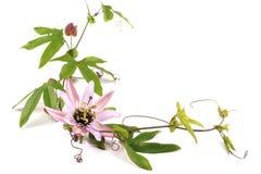 PassionblommaPassiflora L På en vit bakgrund fotografering för bildbyråer