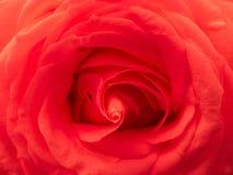 Passione rossa della Rosa Fotografie Stock Libere da Diritti