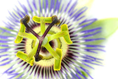 Passionflower Imagem de Stock Royalty Free