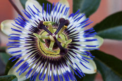 Passionflower Royalty Free Stock Photos