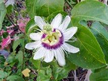 passionflower Стоковые Изображения