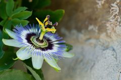 Passionflower beautiful natural colour close up. Passionflower close up on natural background royalty free stock images