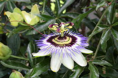Passionflower Stock Photography