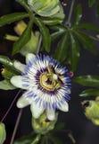 Passionflower bleu (caerulea de passiflore) Photos libres de droits