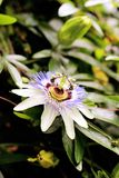 Passionflower blooming Purple in Garden. Purple Passion-Flower in bloom Plants and Gardens. Blue Passion-Flower Passifloraceae Passiflora caerulea - Cultivated royalty free stock photos
