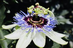 Passionflower blooming in summertime stock image