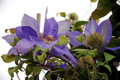 Passionflower Stock Photos
