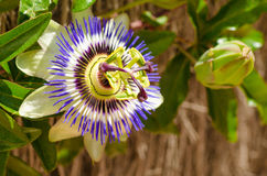 Passionflower and bud. Open passionflower next to a still closed bud royalty free stock photos