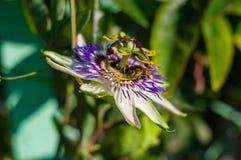 Passionflower caerulea пассифлоры цветка страсти против зеленой предпосылки сада стоковые фотографии rf