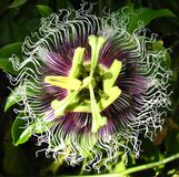 passionflower center Royalty Free Stock Photos