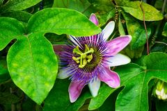 Passionflower. Close up of creeping plant with blooming tropical flower stock photography