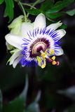 Passionflower close-up. White and blue passionflower close-up. Green leaves background royalty free stock images
