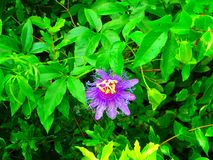 Passionflower in Florida after a rain. I photographed the passionflower after a rain. The flower is common in Florida stock photography