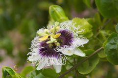 Passionflower, flower from which the passion fruit is obtained. Close-up of a passionflower flower with leaves of the plant in the background royalty free stock photo