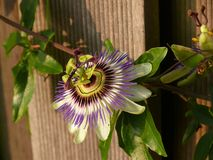 Passionflower. A flowering passionflower at a fence stock photos