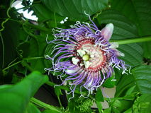 Passionflower in full bloom Stock Image