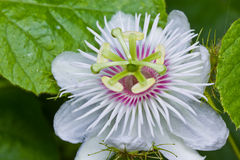 Passionflower i trädgård Royaltyfria Bilder