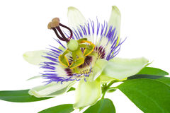 Passionflower on a leaf Stock Image