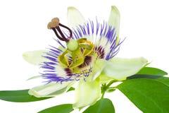 Passionflower på en leaf Fotografering för Bildbyråer