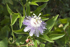 Passionflower púrpura Fotografía de archivo