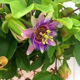 Passionflower. Painted in different colors of purple royalty free stock images