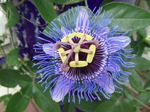 Passionflower passiflora blooming with single flower closeup stock image