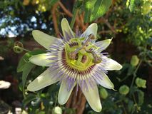 Passionflower. Passiflora caerulea, the blue passionflower, bluecrown passionflower or common passion flower, is a species of flowering plant native to South royalty free stock image