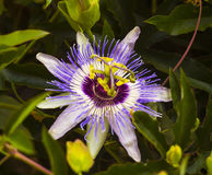 Passionflower. Passiflora passionflower with dew water drops . royalty free stock image