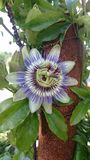 Passionflower Stock Photo