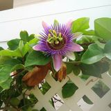 Passionflower. Painted in different colors of purple stock photography