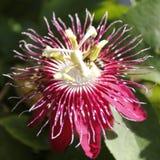 Flor roja de la pasión con la abeja Fotografía de archivo