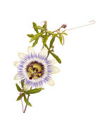 Passionflower with stem and tendrils Stock Photo