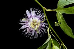 Passionflower sur le noir Images stock