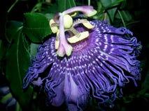 Passionflower. Vine houseplant single bloom stock photography