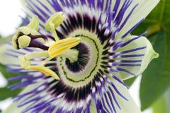 Passionflower viola Fotografia Stock Libera da Diritti