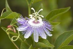 Passionflower viola Fotografie Stock