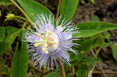 Passionflower viola selvatico Immagine Stock
