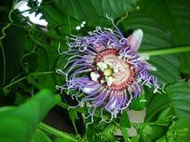 Passionflower w pełnym kwiacie Obraz Stock