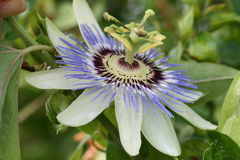 Passionflower. Wine tropical and subtropical regions of the americas Royalty Free Stock Image