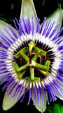 Passionflower, zbliżenie piękny passionflower obraz royalty free