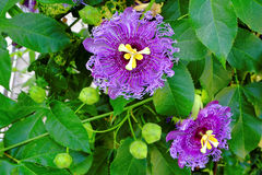 Passionflowers purple bloom. Purple blooming passionflowers in between green leaves - the Passiflora incarnata Royalty Free Stock Images
