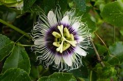 Passionfruit花(下来上面) 库存照片