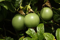 Passionfruit Images stock