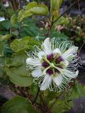Passionfruit blomma fotografering för bildbyråer