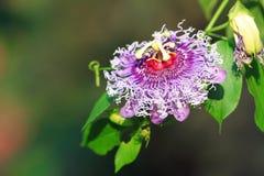 Passionfruit blomma Royaltyfri Bild