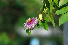 Passionfruit blomma Arkivfoto