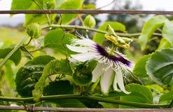 Passionfruit blomma (sidosikten) Fotografering för Bildbyråer